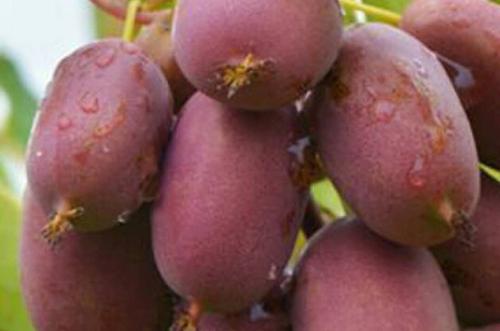 软枣子猕猴桃