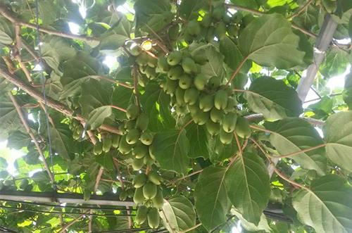 丹东软枣猕猴桃价格