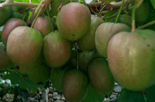丹东软枣猕猴桃苗木哪家好
