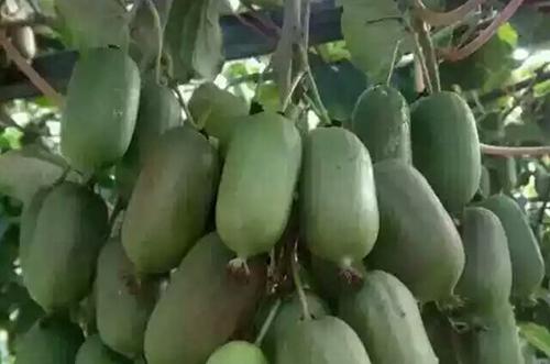 丹东软枣猕猴桃批发