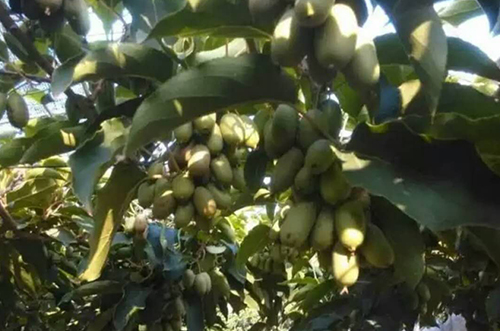 软枣猕猴桃树苗批发