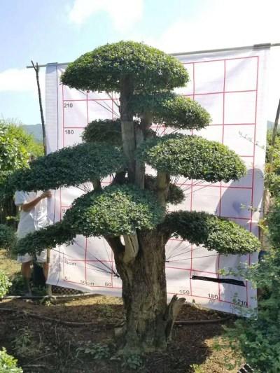 京山白蜡盆景