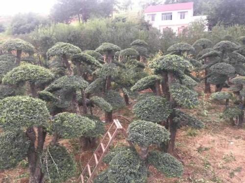 对节白蜡占地树批发