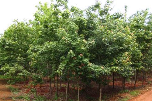 五角楓苗木