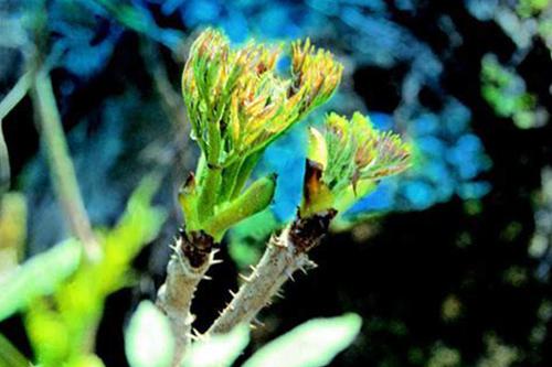刺龙芽苗木