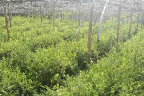 遼寧紅豆杉