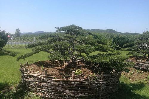 东北红豆杉苗木