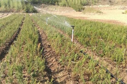 紅豆杉種苗