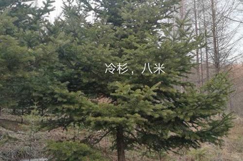 冷杉苗木價格