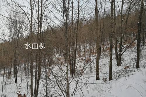 遼寧水曲柳