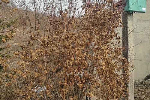 沈陽五角楓苗木
