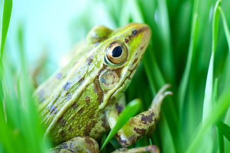湖北黑斑蛙出售