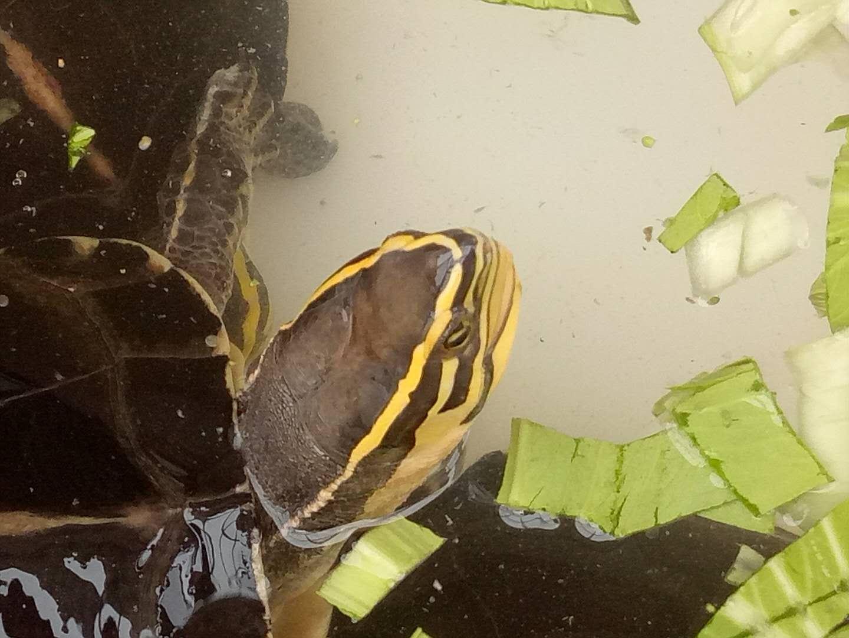 安布闭壳龟养殖