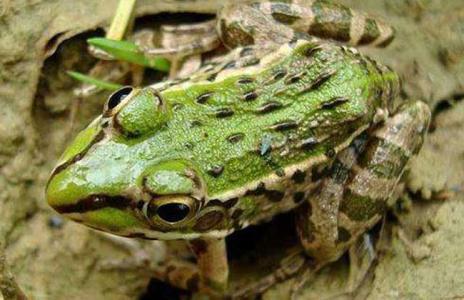 黑斑蛙�r格