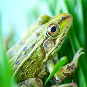 河南黑斑蛙出售