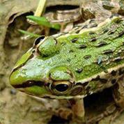 �V西黑斑蛙�r格