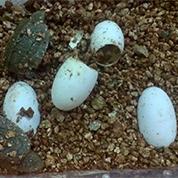 鹰嘴龟苗孵化