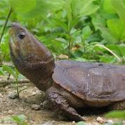 湖南平胸龟