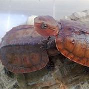 江西平胸龟