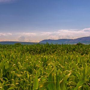 什么玉米品种好