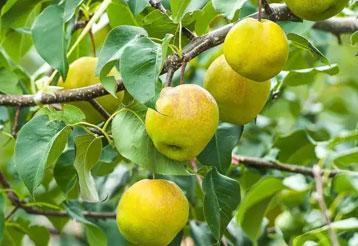 翡翠梨苗木