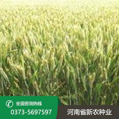 群喜麦4号小麦种子