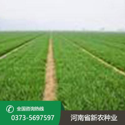 矮抗58小麦种子