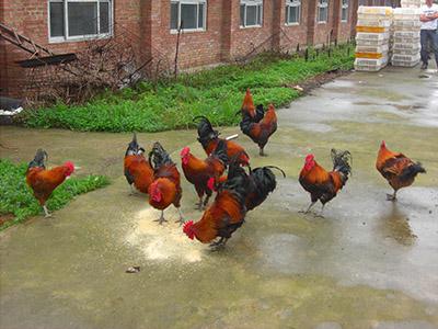 贵阳鸡苗市场
