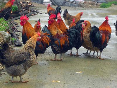 贵州瑶山鸡