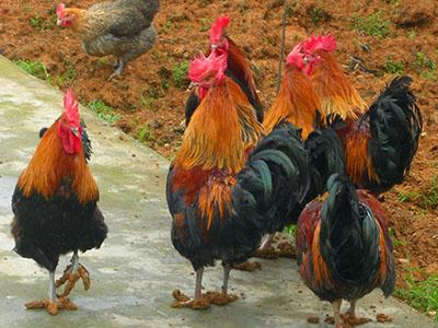 瑶山鸡价格