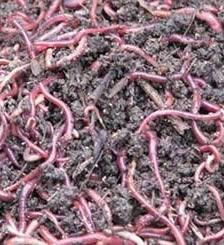 人工蚯蚓養殖