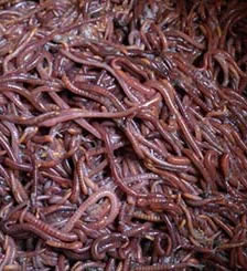 石家莊蚯蚓養殖廠家