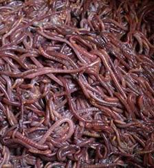 石家庄蚯蚓养殖厂家