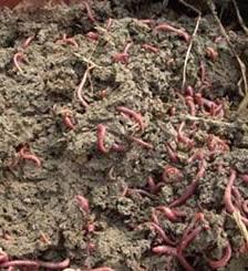 石家莊人工蚯蚓養殖
