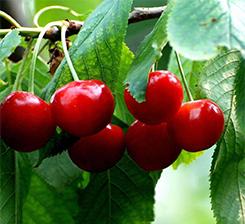水果有机肥
