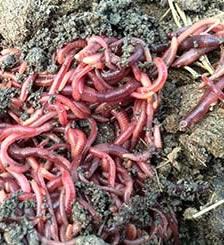 人工蚯蚓養殖技術