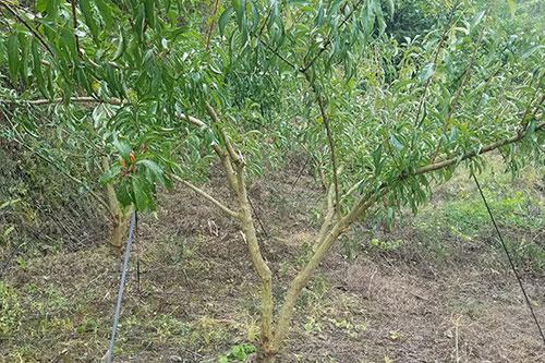 安顺蜂糖李苗种植