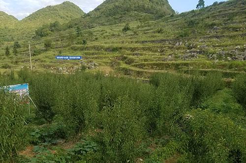 蜂糖李苗种植