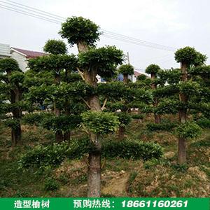 造型榆树盆景价格
