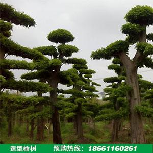 造型榆树批发
