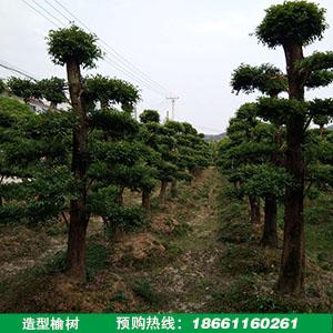 造型榆树盆景