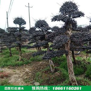 造型红花檵木树桩