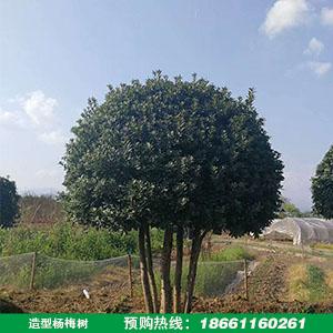 造型杨梅树