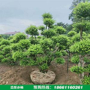 造型赤楠树