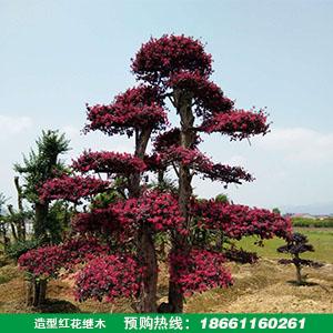 造型红花继木价格