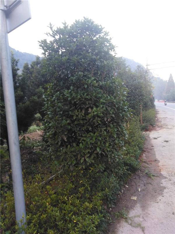 贵州桂花树出售