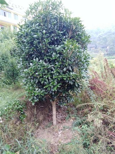 安顺桂花树出售