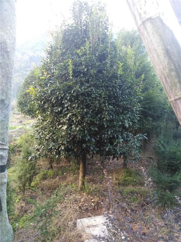 贵州桂花树基地