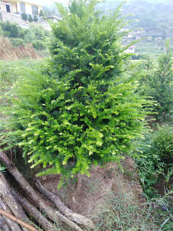 红豆杉种植