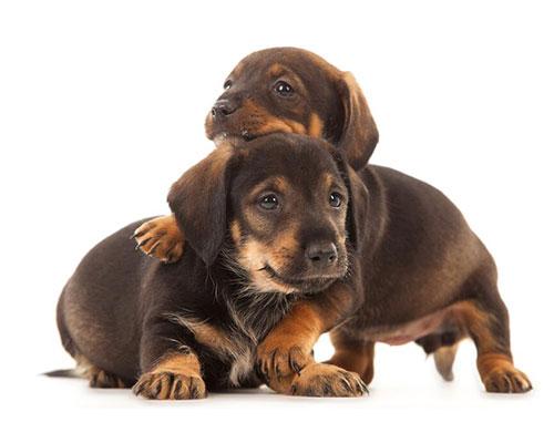 幼犬抗体检测